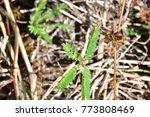 mimosa invisa  giant sensitive...   Shutterstock . vector #773808469