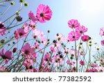 Beautiful Pink Flowers And Blu...