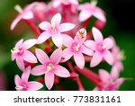 Tiny Cricket On Pink Flowers I...