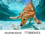 Small photo of Playful golden labrador retriever puppy in swimming pool has fun. Dog jump, dive underwater to fetch ball. Dog training classes, active games with family pet. Popular breeds activity on summer holiday