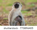 vervet monkey with baby... | Shutterstock . vector #773896405