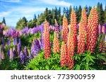 view of lupin flower field near ... | Shutterstock . vector #773900959