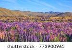 view of lupin flower field near ... | Shutterstock . vector #773900965