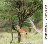 "Small photo of Closeup of Impala (scientific name: Aepyceros melampus, or ""Swala pala"" in Swaheli) in the Tarangire National park, Tanzania"