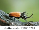 five horned rhinoceros beetle ... | Shutterstock . vector #773915281