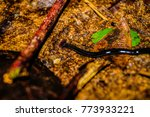 Small photo of Hammerhead worm Platyhelminthes