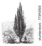 Mediterranean Cypress Or...