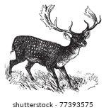 fallow deer or dama dama ... | Shutterstock .eps vector #77393575