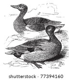 antigua,antiguo,arte,artística,ilustración,aviar,ave,negro,dibujo,pato,grabado,grabado,aguafuerte,hembra,fresco