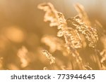 Golden Reeds At Sunrise In The...
