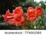 cyme of orange flowers of