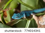lygodactylus williamsi lizard ... | Shutterstock . vector #774014341