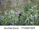 Small photo of African olive pigeon, Columba arquatrix, sitting on branch and eating from seeds