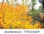 japanese maple leaves . | Shutterstock . vector #774115639