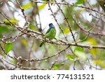beautiful blue eared barbet ...   Shutterstock . vector #774131521
