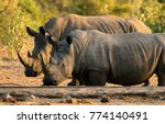 two white rhino's at the... | Shutterstock . vector #774140491