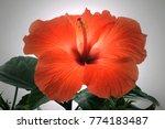 Red Hibiscus Portrait