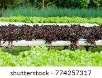 organic hydroponic vegetable... | Shutterstock . vector #774257317