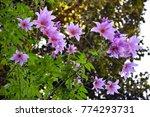 dahlia flower in darjeeling... | Shutterstock . vector #774293731