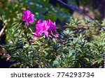 different flowers in darjeeling ... | Shutterstock . vector #774293734