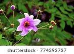 dahlia flower in park. | Shutterstock . vector #774293737