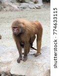 Mother Monkey Baboon Nursing...