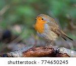 robin   erithacus rubecula  | Shutterstock . vector #774650245