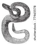 South American Rattlesnake Or...
