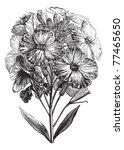 aegean wallflower or erysimum... | Shutterstock .eps vector #77465650