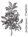 cattley guava or psidium... | Shutterstock .eps vector #77465653
