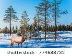 magnificent reindeer with horns.... | Shutterstock . vector #774688735