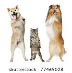 Stock photo shetland sheepdog shiba inu and cat stand on hind legs on a white background 77469028