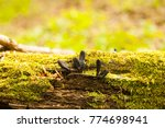 Small photo of Black mushroom-parasites Xylaria polymorpha on fallen tree. Dead man's fingers mushrooms, saprobic fungus with green moss