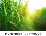 rice in the field waiting for... | Shutterstock . vector #774708994