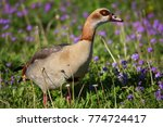 Nervous Egyptian Goose ...