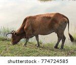 The Cattle Eat Grass Beside...