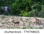 elephant  hyena   wild dog | Shutterstock . vector #774748021