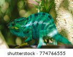 furcifer  a genus of chameleons ... | Shutterstock . vector #774766555
