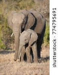 Small photo of A vertical, side lit, full length, colour photograph of two elephants, Loxodonta africana, mother and calf, standing affectionately in the Greater Kruger Transfrontier Park, South Africa.