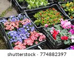 spring seedlings of flowers in...   Shutterstock . vector #774882397
