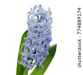 Blue Hyacinth Flower Isolated...