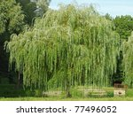 Weeping Willow Tree In The...