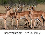 Small photo of A group of female Impala (Aepyceros melampus melampus) in the Savuti region of Botswana.