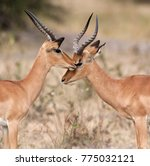 Small photo of Two young male Impala (Aepyceros melampus melampus) in the Savuti region of Botswana.