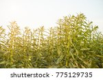 farmland in the growth of...   Shutterstock . vector #775129735
