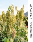 close up field of sorghum or...   Shutterstock . vector #775129759