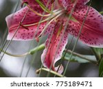 Small photo of Pink Lilly Entrapment