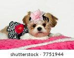 Pretty Baby A Shih Tzu Puppy...