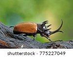 five horned rhinoceros beetle ... | Shutterstock . vector #775227049