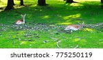 Fallow Deer Lying In Green...